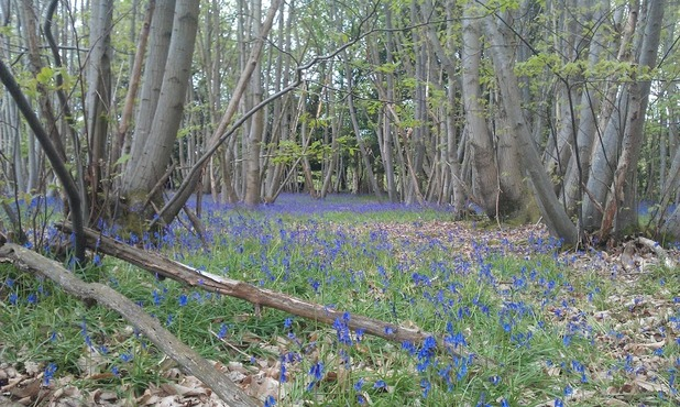 bluebells in sweet chestnut coppice